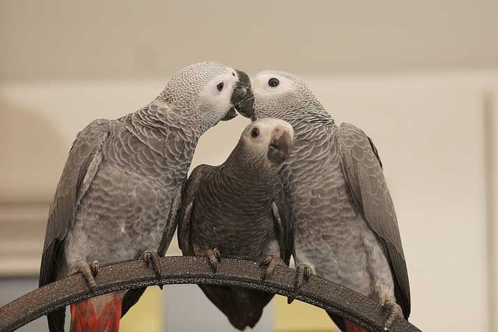 All About African Grey Parrots | Petcha