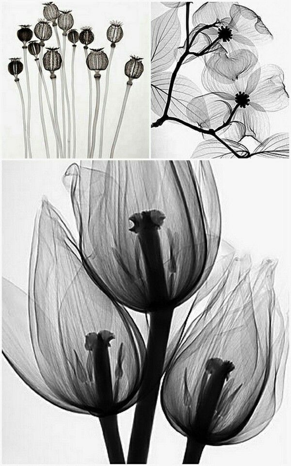 Steven Meyers' x-ray prints of flowers (more at xray-art.com)