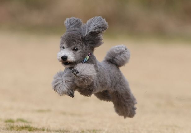 Leaping poodle!                                                                                                                                                                                 More