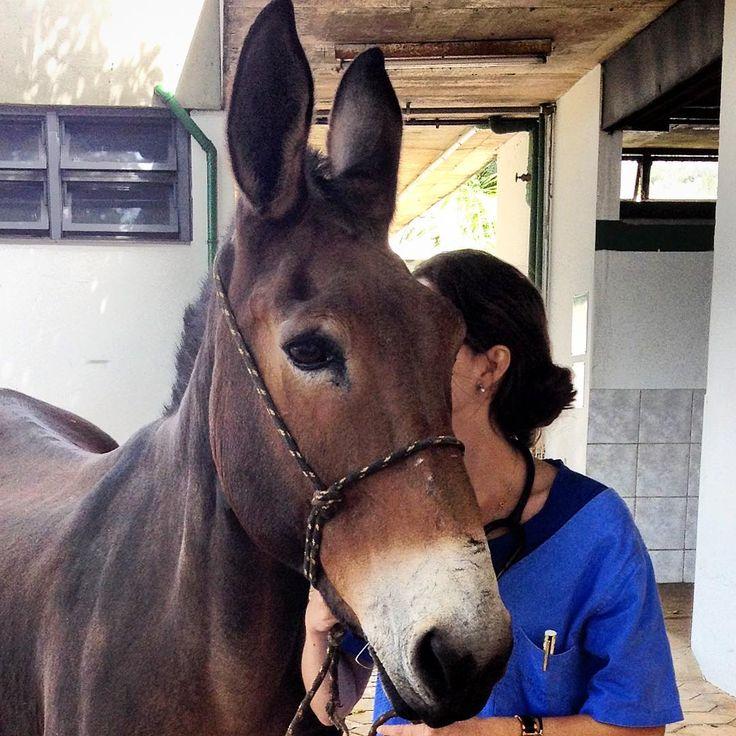 Let me tell you a secret...  #mule #instahorse #horse #horsesofinstagram #equine #equestrian #pferd #pferdeliebe #cheval #muar #vet #vetlife #veterinarian #whisper #letmetellyouasecret #secret