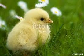 Bildergebnis für hühnerküken
