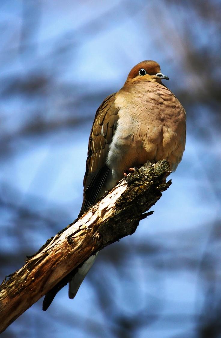 Proud Mourning Dove   © Richard Masters