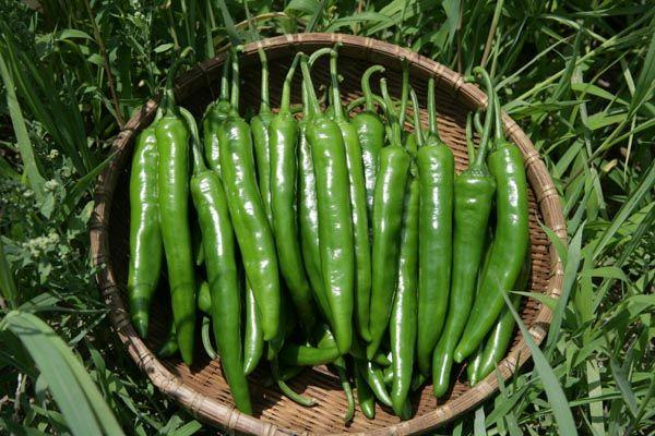 Когда сеять горький перец на рассаду