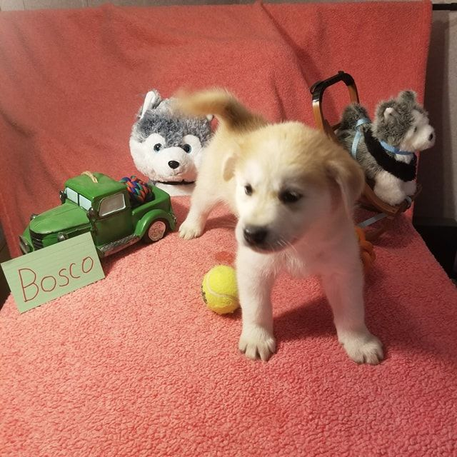Bosco Mixed Breed Pups For Sale In Houghton Lake Michigan Mixedbreeds Vippuppies Puppies Child Friendly Dogs Puppies For Sale