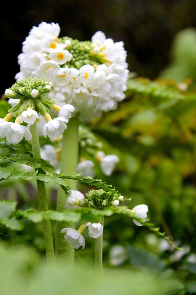 www.fleursaubalcon.com Abonnement de jardinière fleurie pour balcon. Primula et fougères.