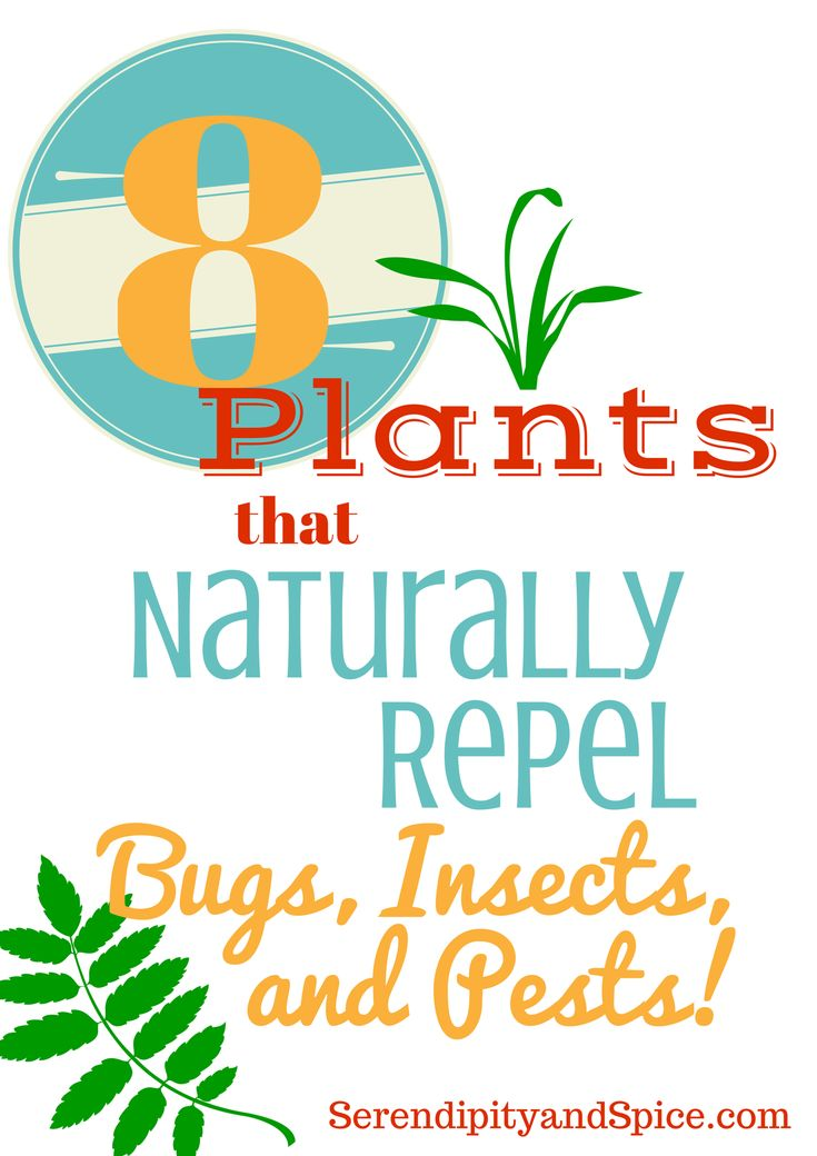 plants to repel bugs 1.MINT keeps away 'ants' & 'mice' 2.BAY LEAVES ward off 'roaches' 3.LEMONGRASS ..'mosquitoes ' & 'bees' 4.BASIL keeps annoying 'flies' at bay 5.GERANIUMS keep out 'Japanese Beetles' 6.CATNIP wards off 'mosquitoes' & 'flies 7.PYRETHRUM CHRYSANTHEMUMS repel 'roaches, fleas ticks, bedbugs, lice, silverfish, ants' & more 8.CITRONELLA repel 'mosquitoes'