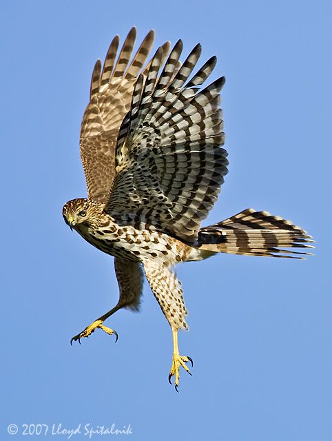 Cooper's Hawks capture birds with their feet and kill them by repeated squeezing. They have even been known to drown their prey. Three Cooper's Hawks were found in Central Park in this year's Bird Count.