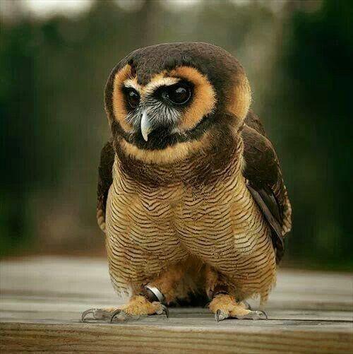 An Asian Brown Wood owl