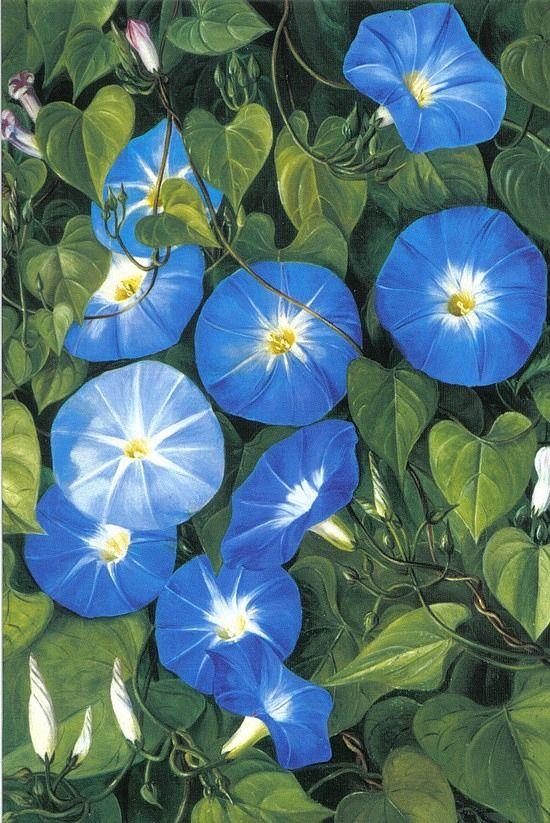 Blue Morning Glory by botanical illustrator Marianne North