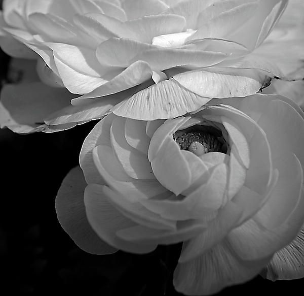 Two ranunculus flowers done in a monochromatic edit and a square crop.