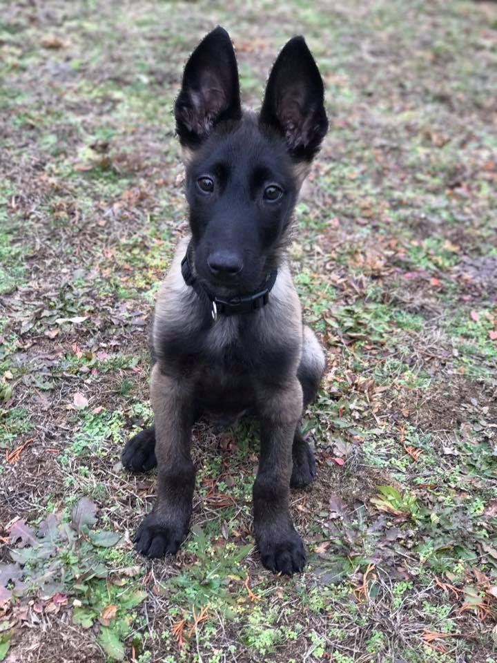 Malinois Puppy Chien Chiot Beagle Bebe Animaux Mignon