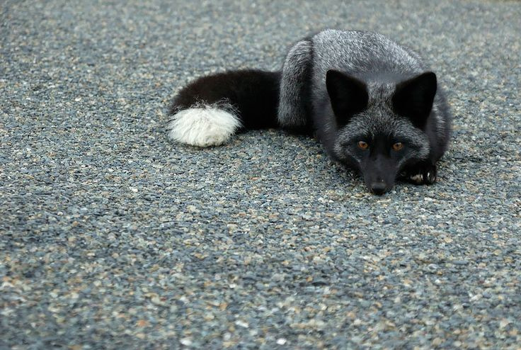 Black Silver Fox-The Rare Beauty Of Black Foxes
