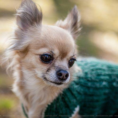 This cutie looks so much like my chihuahua, Freida!