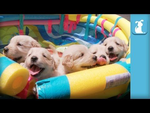 Have you seen a gold retriever puppy? If you haven't, or even if you have, watch this video and try not to make too many happy noises while watching these fluffy puppies. Golden Retrievers were named