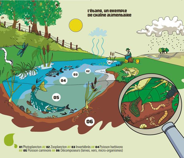 L'étang, un exemple de chaîne alimentaire