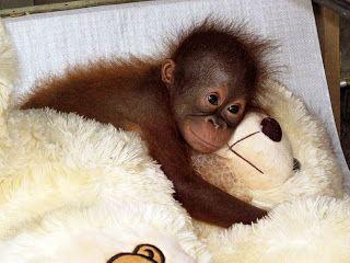 Cute Baby Orangutan With Teddy I Luv Orangutans