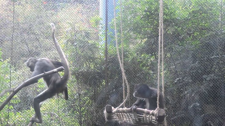 Mono araña (Ateles geoffroyi) Zoológico de Chapultepec