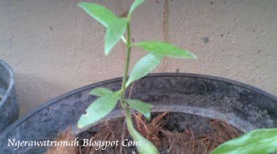 Tips Mengusir Semut Pada Tanaman Dengan Air Bawang Putih, Cara Mengusir Semut Pada Tanaman Dengan Air Bawang Putih