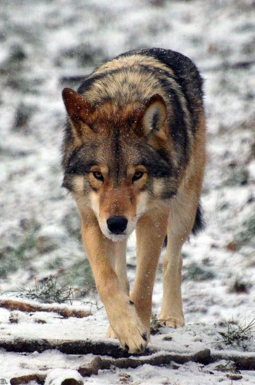 (notitle) – Wolf