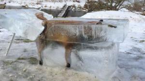 Seekor Rubah Terawetkan dalam Balok Es