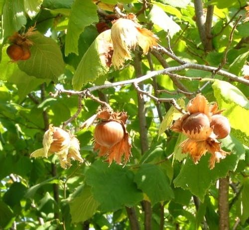 I feel like I could write a bit more on the subject of hazelnuts, I am working on a rather large writing project that I hope to have completed soon. In the meantime here is a little information on …