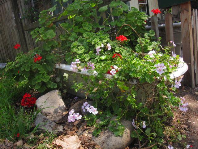 Garoline Gerardou0027s Garden  Bathtub With Wild Geraniums