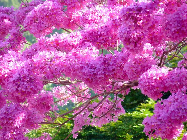 Tabebuia Heptaphylla Pink Blooming Now In South Florida