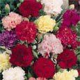 Carnation flowers (Dianthus caryophyllus)