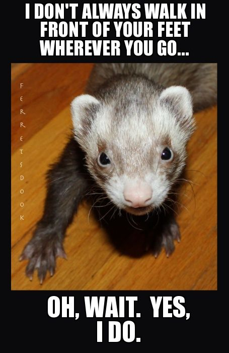pin ferret meme on - photo #3