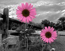 Pink daisies,,,color splash,,,