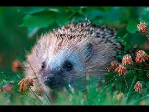 Hedgehogs In Finnish Folklore (Finnish with subs)