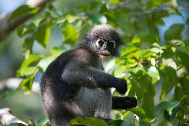 ... monkey, Trachypithecus obscurus - Kaeng Krachan National Park (2).jpg