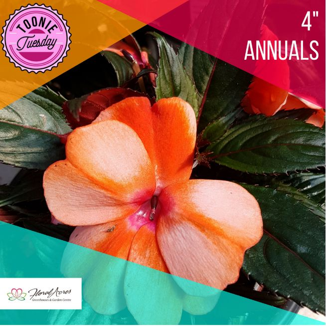"Our Toonie Tuesday special this week is all 4"" Annuals! There are so many great options to choose from. What annuals is your favorite?! www.floralacres.ca"