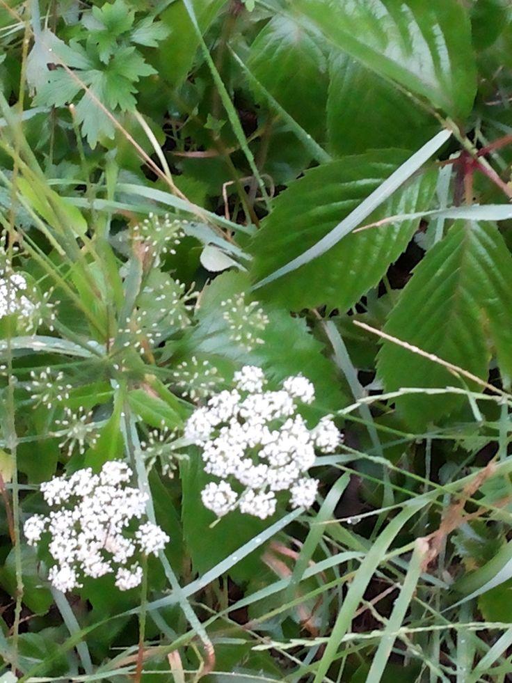 напоминает салют) цветочек из семейства зонтичных (Umbelliferae или Apiaceae) - возможно это вех (или вёх), поэтому с ним нужно быть поосторожнее...  а рядышком - лист девичьего винограда