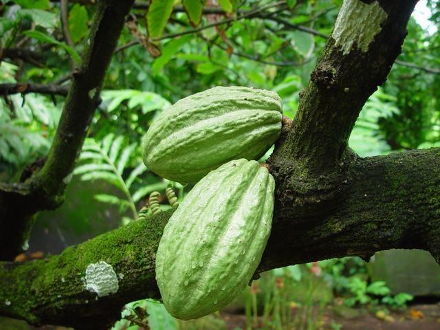 Cocoa-Caribfruits - Cacao / Fruits des Antilles