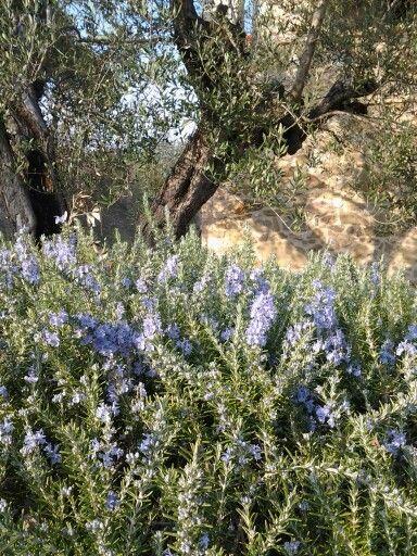 Olivo secolare e rosmarino in fiore.