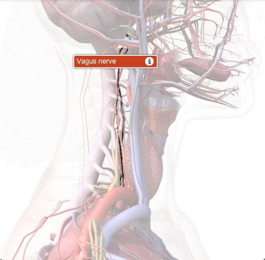 Great site link for anatomy reference.  This one links to the Vagus Nerve.  http://www.healthline.com/human-body-maps/vagus-nerve#1/6