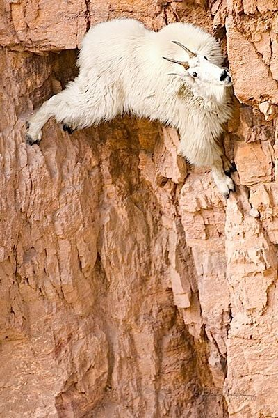 .: Mountaingoats, God, Funny Pictures, Animal Humor, Mountain Goats, Funny Meme, Rocks Climbing, So Funny, First Places
