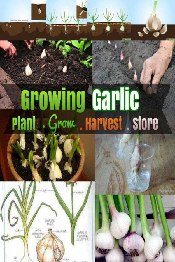 Growing Garlic How To Grow Garlic 5 Steps Growing Garlic Backyard Vegetable Gardens Hydroponic Growing