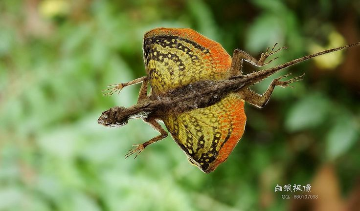 The flying dragon is a small lizard commonly found in forests of South-East Asia. aka dragon-lizard, draco-volans