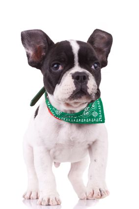 French bulldog-temperament and how to train