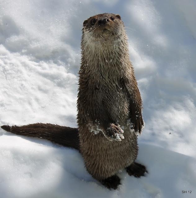 21 best standing otter images on pinterest otters baby for Otter ice fishing