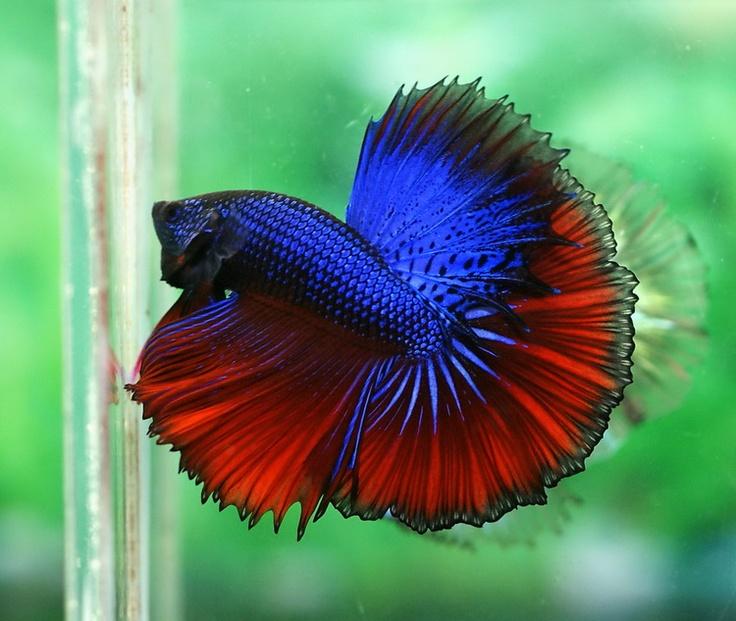 17 best images about alpha bettas on pinterest auction for Halfmoon betta fish
