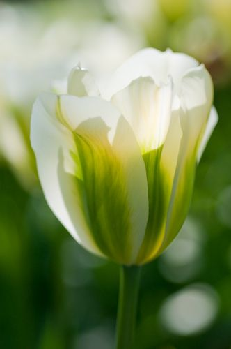 bright white tulip