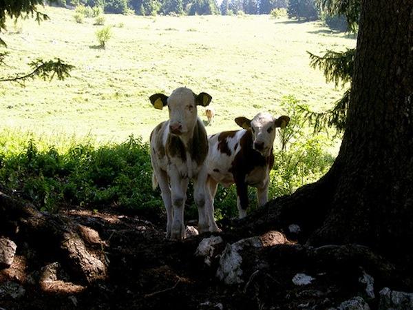 Pisa: prende fuoco il fieno, vitellini e montone muoiono  26 giugno 2012