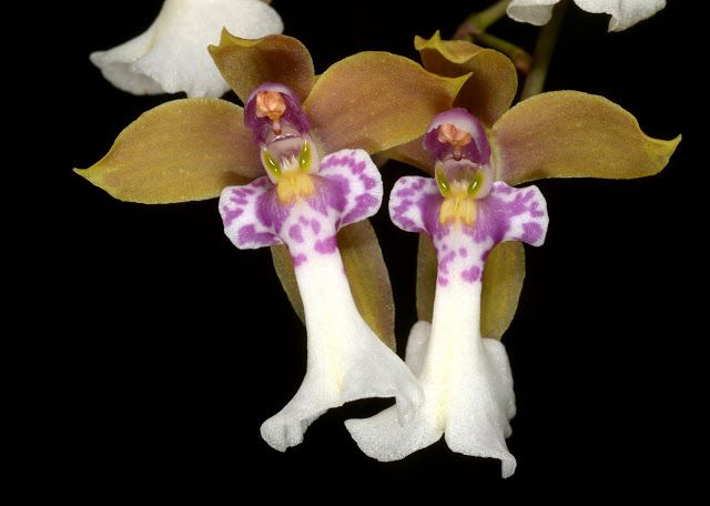An Up-Close View of Orchid-Mimicry by Caucaea from Ecudor Mimicking 'Fairy-Angels Watching-Over'
