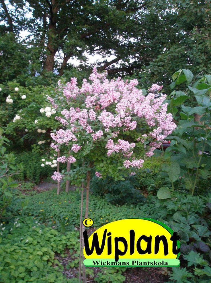 Palibin dvärgstamsyen, Syringa meyeri Palibin. Blommar i juni med små lila blommor som doftar gudomligt gott. Snygga blad efter blomningen. En alldeles utmärkt stamväxt i rabatten. Höjd 120-150 cm