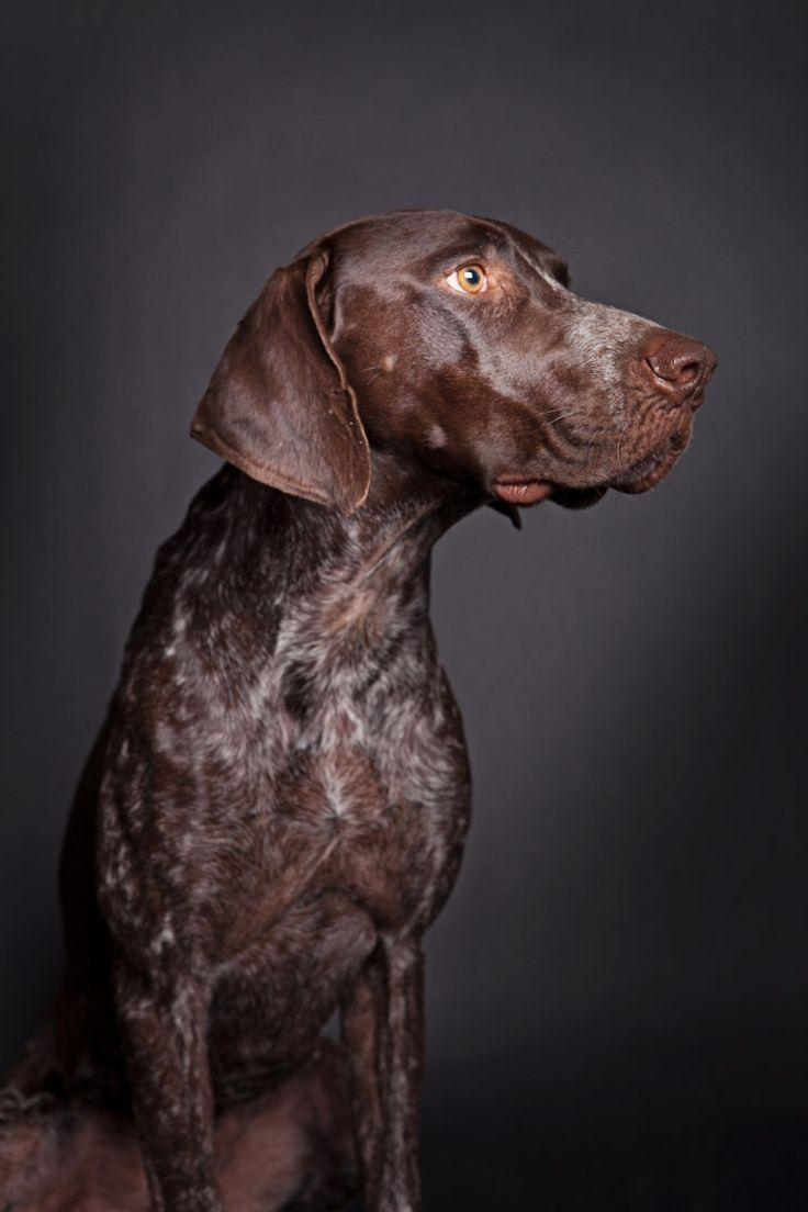 German Shorthaired Pointer #GSP - Braque allemand