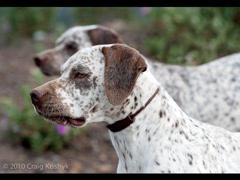 Bourbonnais Pointing Dog - (Braque du Bourbonnais) Dog Breed