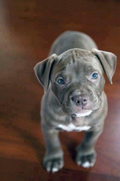 Adorable pitbull puppy :)